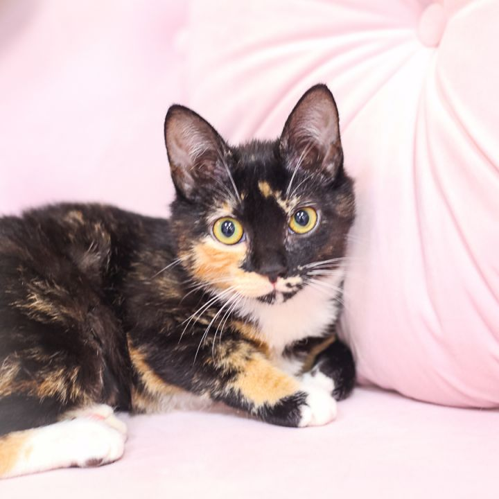 Sophie, an adopted Manx & Tortoiseshell Mix in Ponte Vedra, FL