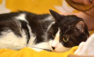 Jack Jack - 1960 Petsmart Domestic Short Hair Cat