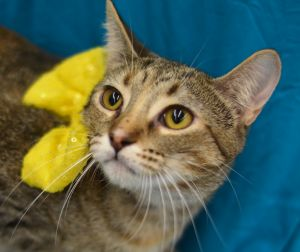 Tottsie a a beautiful Torbie kitten with a sweet playful and loving personality She is outgoing g