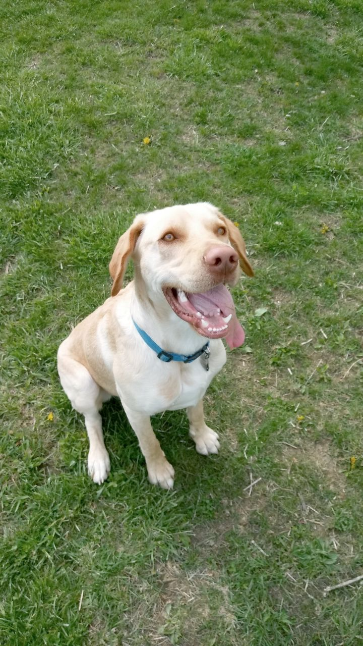 Luke, an adopted Labrador Retriever in South Charleston, OH
