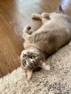 Daisy, an adoptable Tabby Mix in Waxhaw, NC