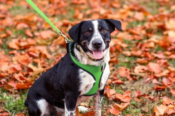 Jayke, an adopted Border Collie Mix in Springfield, MO