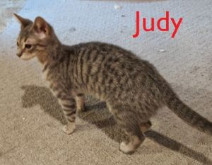 Judy is a sweet friendly Egyptian Mau mix She looks brown in the photo but is a beautiful grey Sh