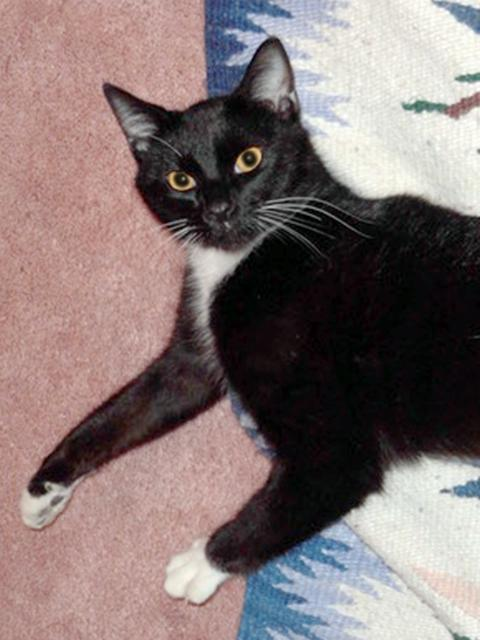 Coco, an adopted Domestic Short Hair in Reston, VA