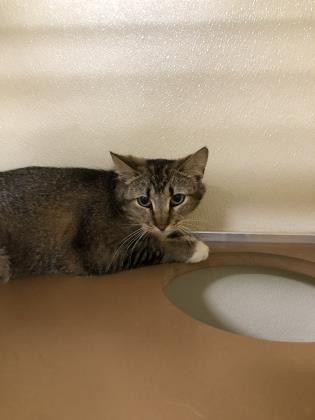 Matilda, an adoptable Domestic Short Hair in Clarks Summit, PA