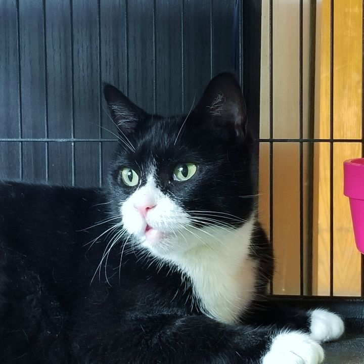 Sweet Charlotte, an adoptable Tuxedo in South Ozone Park, NY