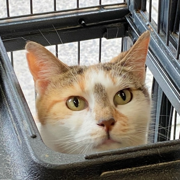 Honey, an adoptable Domestic Short Hair Mix in South Ozone Park, NY