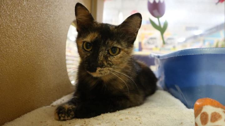 lady bug, an adoptable Tortoiseshell in Schererville, IN