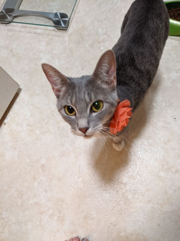 Tolani, an adoptable Domestic Short Hair in Eagle Mountain, UT