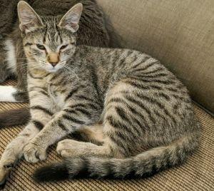 Kate - La Habra/Whittier Petco Egyptian Mau Cat