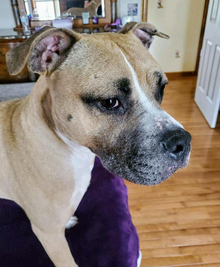 Atom, an adoptable American Bully Mix in Dillsburg, PA