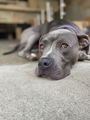 Doss American Staffordshire Terrier Dog