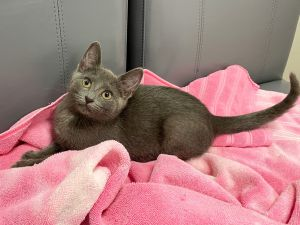 Enthusiastic Ellie Meet Ellie a petite sleek athletic five-month-old kitten rescued with her si