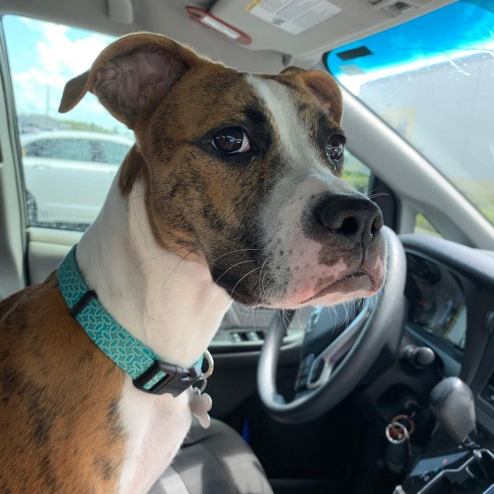 Rosie, an adopted Boxer & American Bulldog Mix in Orlando, FL