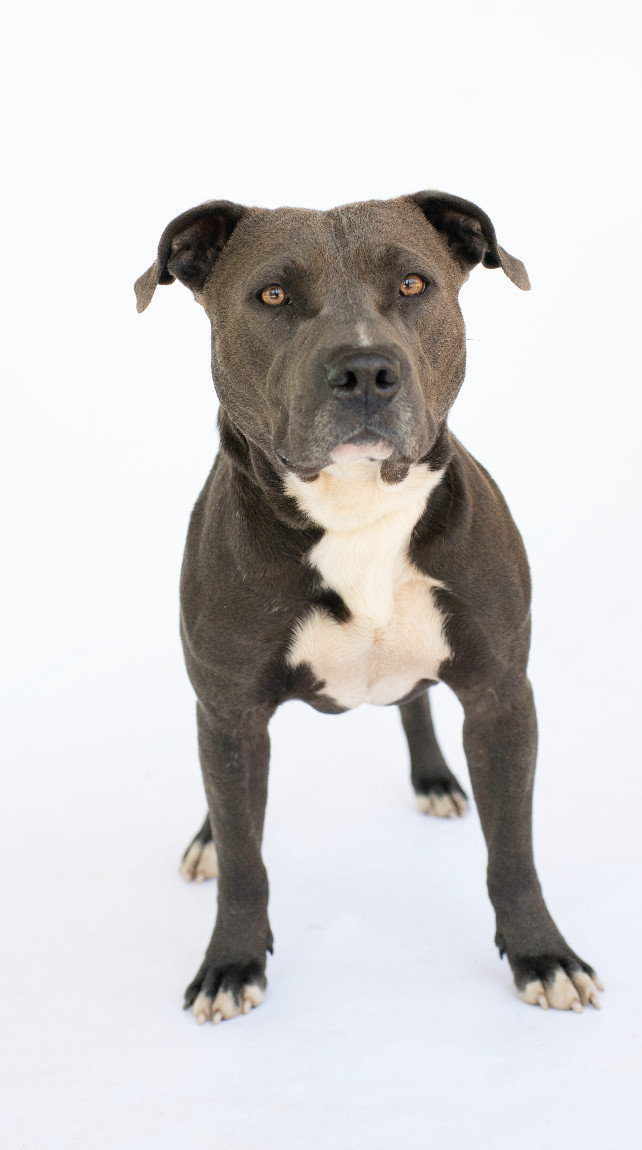 Apollo, an adopted American Staffordshire Terrier Mix in Columbus, NC