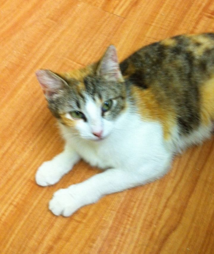 Emily, an adoptable Calico & Domestic Short Hair Mix in Mission Viejo, CA