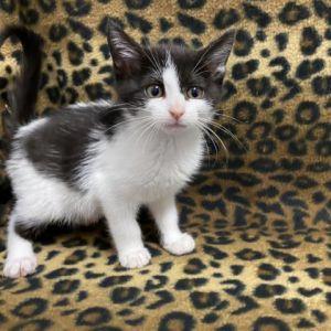 Tammy One Domestic Short Hair Cat