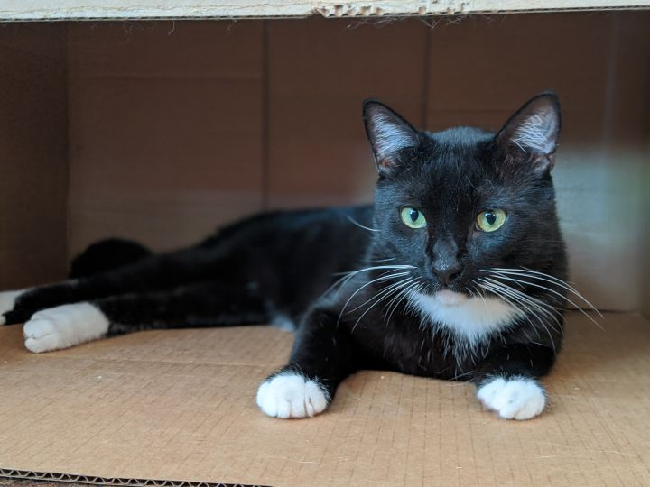 Porgy, an adoptable Tuxedo in Los Angeles, CA