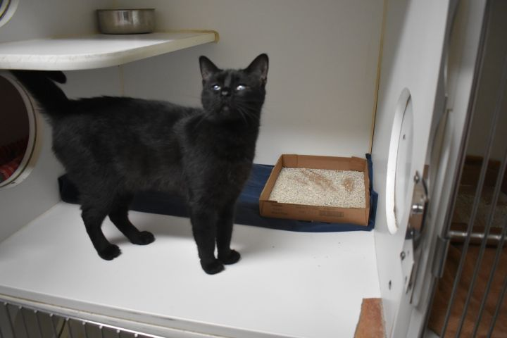Makura, an adoptable Domestic Short Hair in Rifle, CO