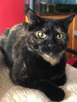 Dawn is a beautiful polydactyl torti She is a very timid girl but does love to be petted She will