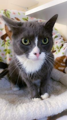Jazzy, an adoptable Domestic Short Hair in Bloomsburg, PA