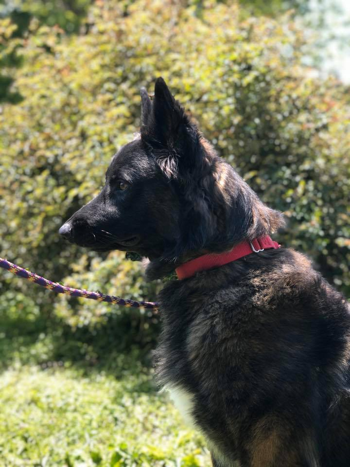 Timmy, an adoptable Dutch Shepherd in Chestertown, MD