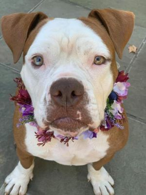 You can fill out an adoption application online on our official website Dumpling is a male Bulldog