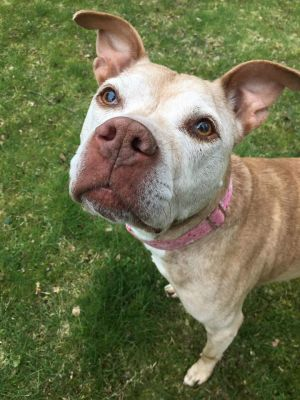 Lily is a deaf 13-year-old pit bull mix who found herself at a local shelter after her owner was ho
