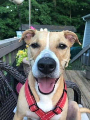 Meet Sugar a 3 year old lab mix She is a energetic girl and ready to be your new best