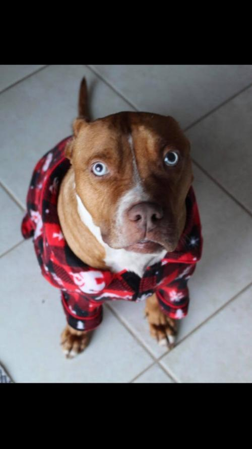 Buddy, an adoptable Pit Bull Terrier in Orlando, FL