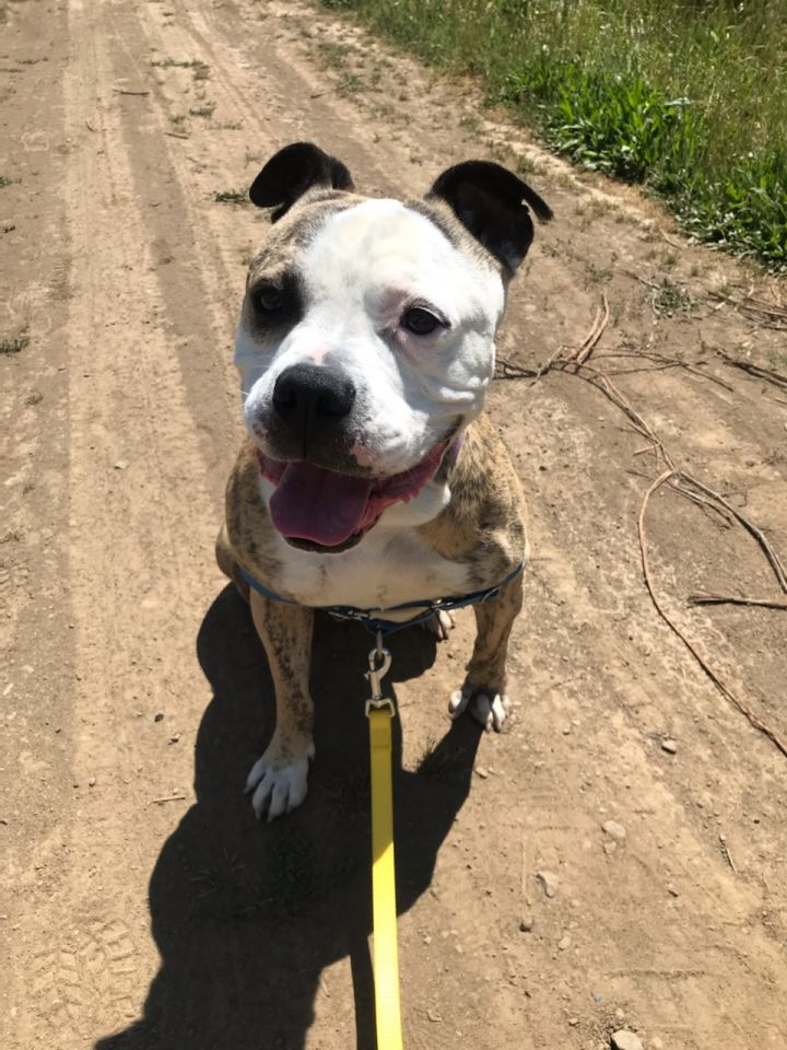 Maddie, an adopted Pit Bull Terrier Mix in Portland, OR