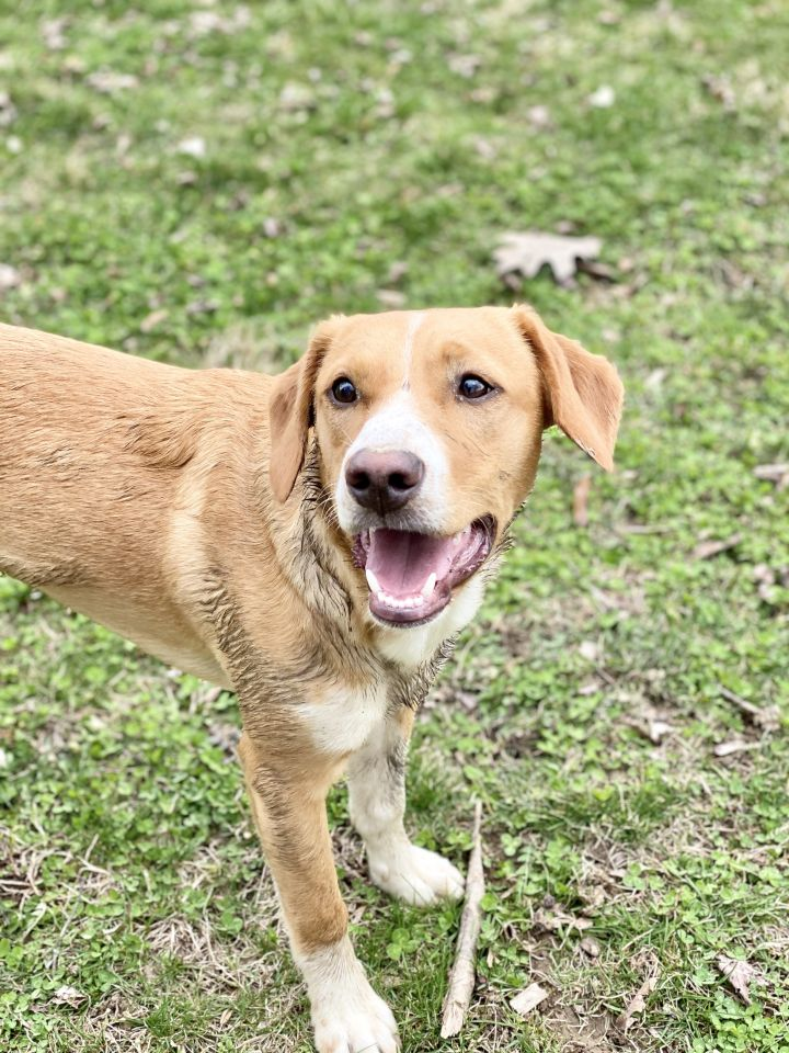 Charlie **Special Needs**, an adoptable Labrador Retriever & Beagle Mix in Albany, NY