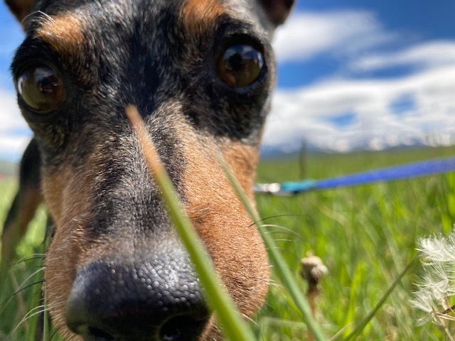 Merle, an adopted Miniature Pinscher in Ridgway, CO