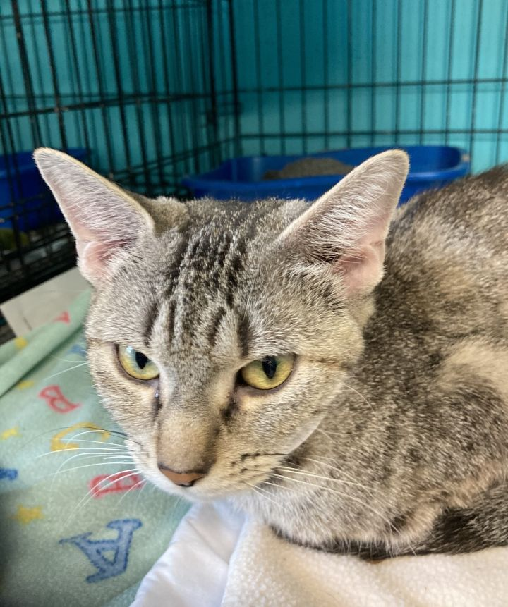 Buttercup, an adoptable Domestic Short Hair & Tabby Mix in Spencer, IN