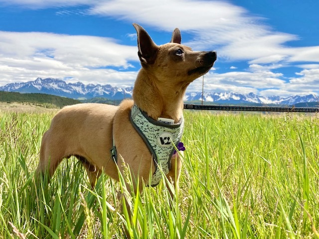 Flash, an adopted Terrier in Ridgway, CO