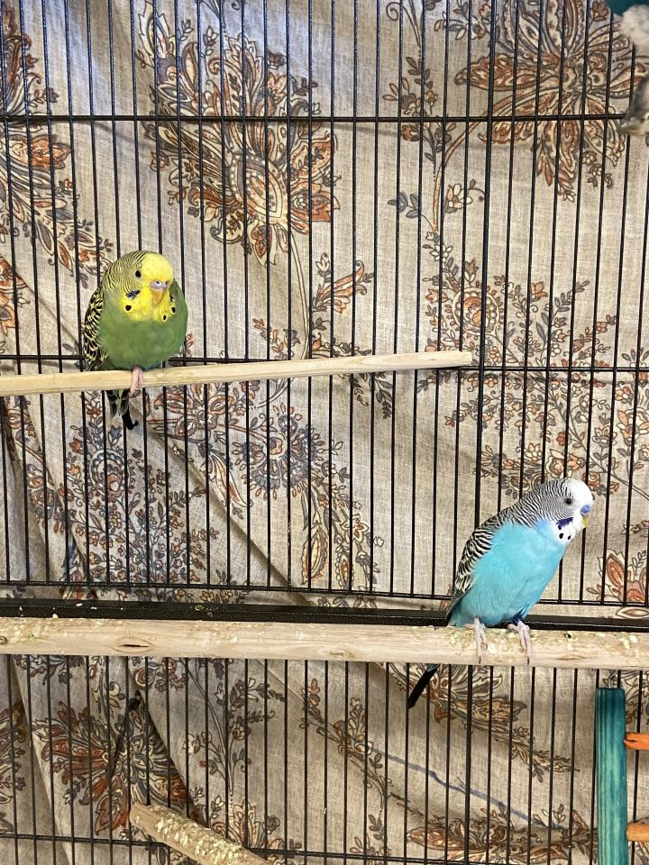 Buttons & Blossom, an adopted Parakeet (Other) in Bellingham, WA