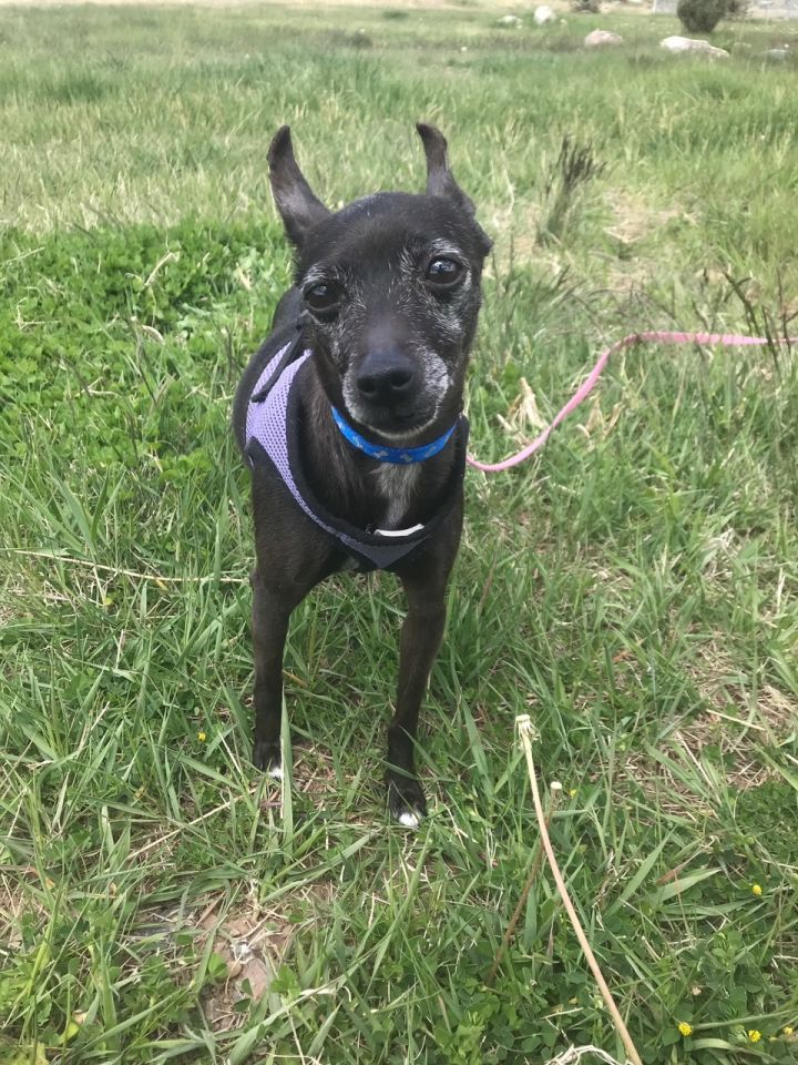 Ebony, an adopted Terrier in Ridgway, CO
