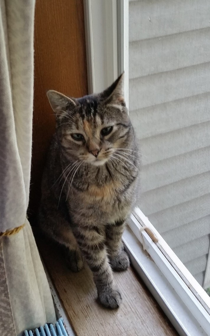 Chelsea, an adoptable Domestic Short Hair & Tabby Mix in Buhl, ID
