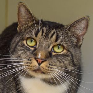 Laurence is a friendly and outgoing kitty about 3 who came to us as a stray He is very sweet