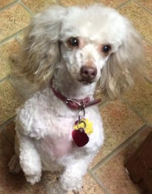8 year old 13 poodle mix that likes to play tug of war