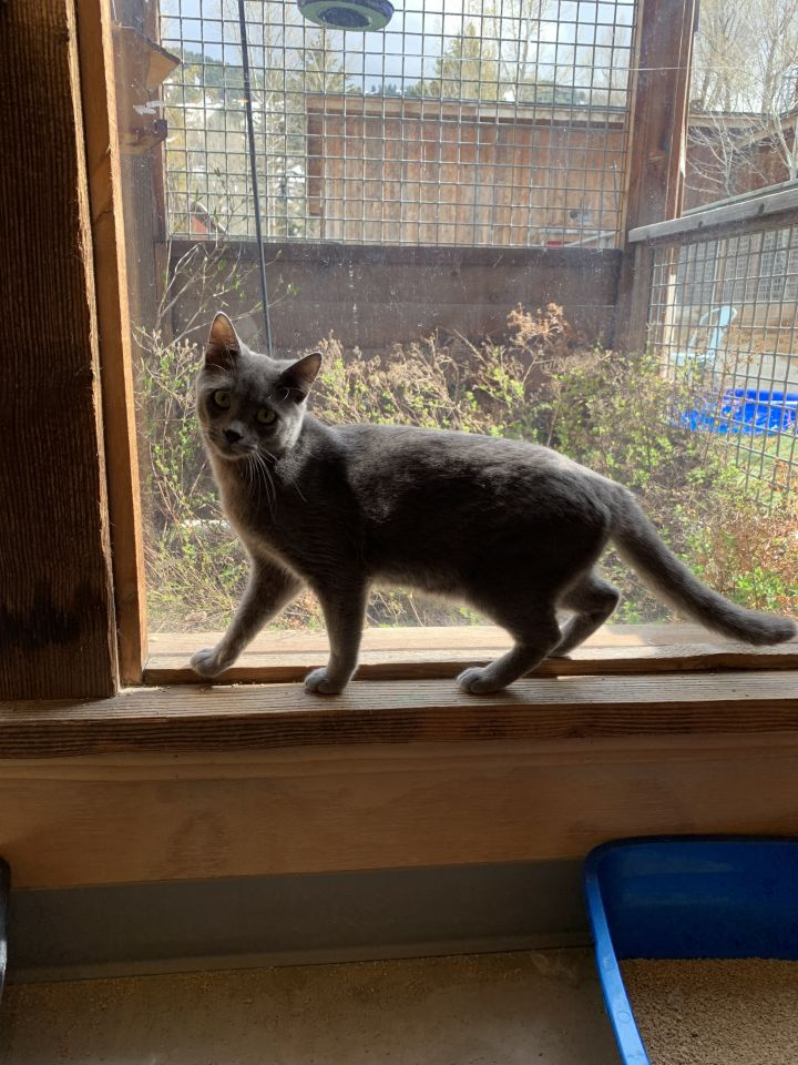 Peter, an adopted Domestic Short Hair in Jackson, WY