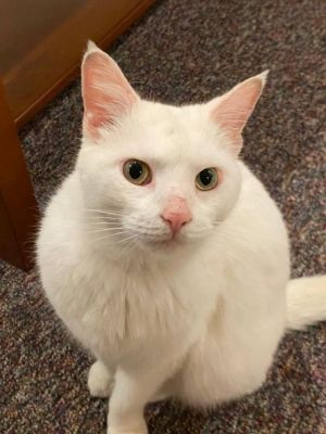 Aby is a beautiful white spayed female She is everything someone would want in a pet She is loving