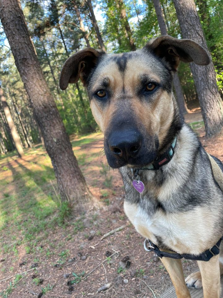 Isabella, an adoptable Shepherd Mix in Clayton, NC