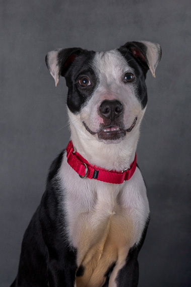 Dominoe, an adoptable Border Collie & Hound Mix in Myakka City, FL
