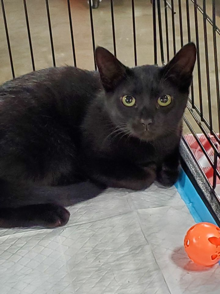 Becky, an adoptable Domestic Short Hair in Eaton Rapids, MI