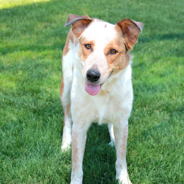 Ladybug, an adopted Australian Cattle Dog / Blue Heeler Mix in Clovis, CA