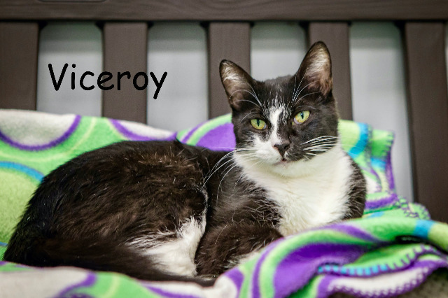 Viceroy, an adoptable Domestic Short Hair in Las Vegas, NV