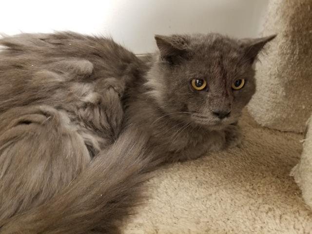 Michelangelo, an adoptable Domestic Long Hair in Las Vegas, NV