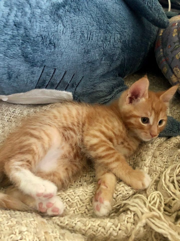 Dumbledore, an adoptable Domestic Short Hair & Tabby Mix in Mission Viejo, CA