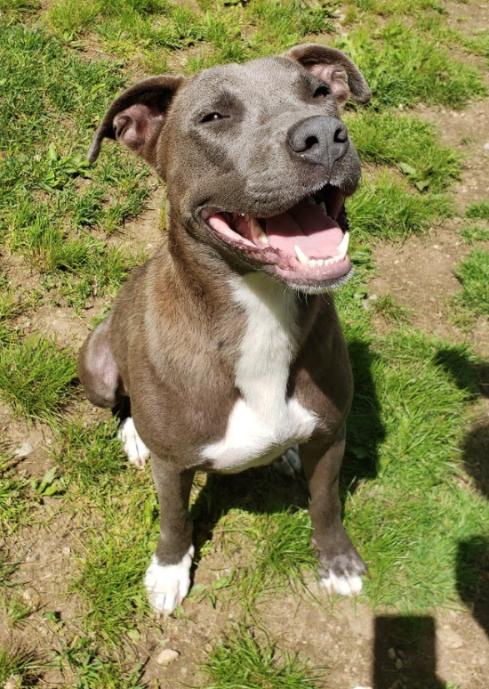 Sundae, an adopted Pit Bull Terrier in Parsippany, NJ
